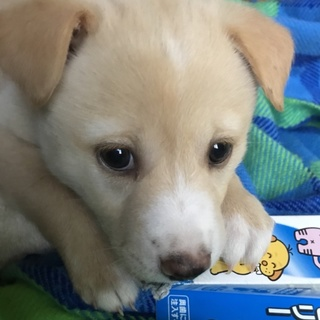 ☆コロコロ可愛い白子犬 男の子☆