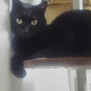 黒猫メス6才 新しい飼い主様募集