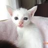 可愛い白猫☆辛夷(こぶし)くん 生後40日