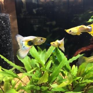 グッピー(オス、メス、稚魚20匹くらい)
