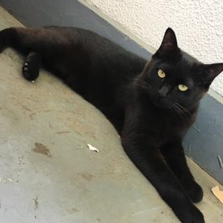急募!1歳黒猫メス