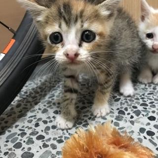 ★ホームステイ可★三毛メス【保護子猫】