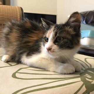 お利口さんな三毛の美人猫 レイン!