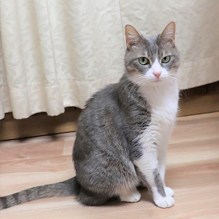 白×グレー猫 タチアナちゃん里親様募集中!