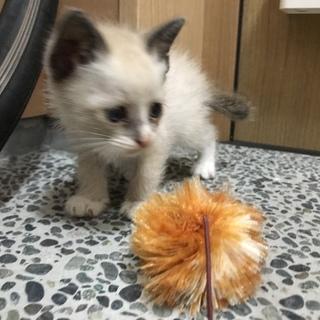 ホームステイ可★シャムオス【保護子猫】