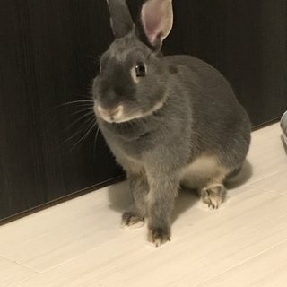 2歳ミニウサギ