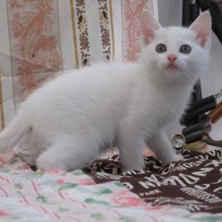 白猫「あさ」女の子 2か月