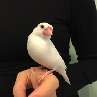 白文鳥メス(5歳)の里親さん募集します。