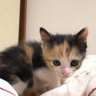 可愛い子猫です☆三毛のあまなつちゃん