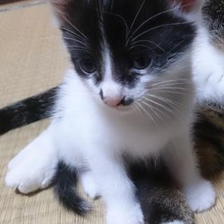 4/11日生まれの猫ちゃんの里親募集します。