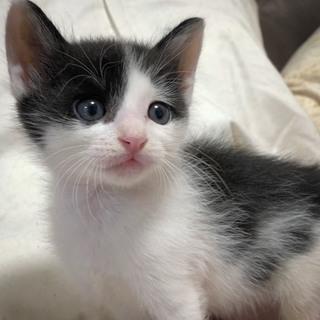 可愛い子猫です★白黒のはっさくくん