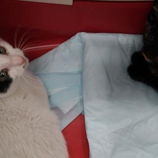 2ヶ月少し・子猫(サビ♀&白黒♂)