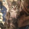 1か月半のかわいいキジトラ男の子です!➀