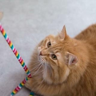 茶トラ長毛美猫ダイナマイトボディ姉妹ペアで