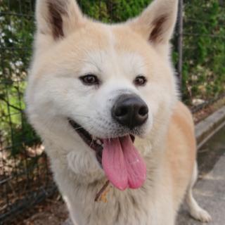 秋田犬のマサルちゃん