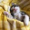 グレーの三毛猫☆彡.。無事里親様がみつかりました!