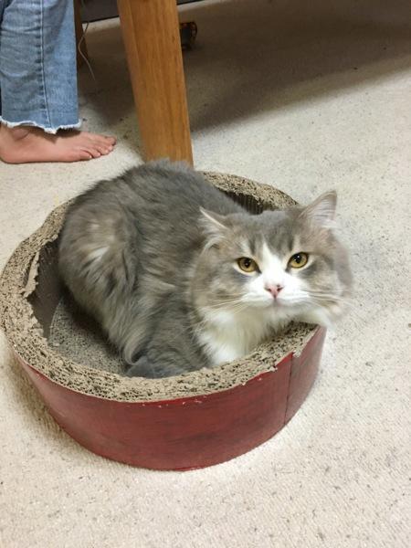 足長長毛マンチカン」静岡県 , 猫の里親募集(209592)  ペット