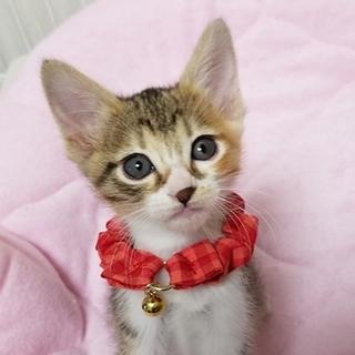 2ヵ月【6/17東銀座・猫の譲渡会】マーヤちゃん