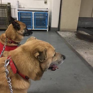 保健所伴走犬ボランティア中、でも、お外大雨降り出した・・チーン