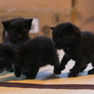 離乳期1ヶ月弱・黒猫3匹兄弟