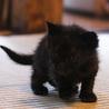 離乳期1ヶ月弱・黒猫3匹兄弟 サムネイル2