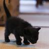 離乳期1ヶ月弱・黒猫3匹兄弟 サムネイル6