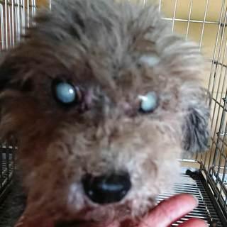 プードルの女の子 眼が白内障です