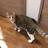 11ヶ月 キジ白メス サンドラちゃん サムネイル6
