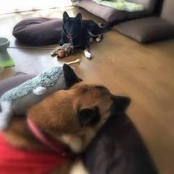 保護犬いつ菜ちゃん改めいつ羽ちゃん