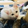 ホームステイ可★茶トラ白メス【保護子猫】