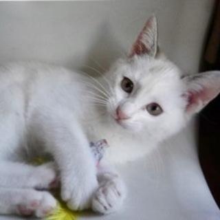 3ヶ月 洋風美人な白灰 かりんちゃん!