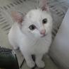 3ヶ月 洋風美人な白灰 かりんちゃん! サムネイル2