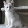 3ヶ月 洋風美人な白灰 かりんちゃん! サムネイル3