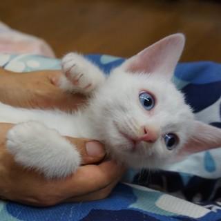 白猫姉妹・青い目マリンちゃん、人なれ完璧、医療済