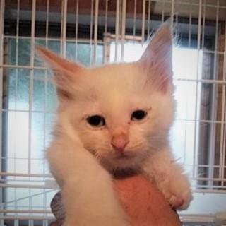 きれいな白猫 ♪ ピッピ君 2ヵ月半