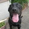 大型犬飼育経験者にお願したい3歳黒ラブ♀ サムネイル4