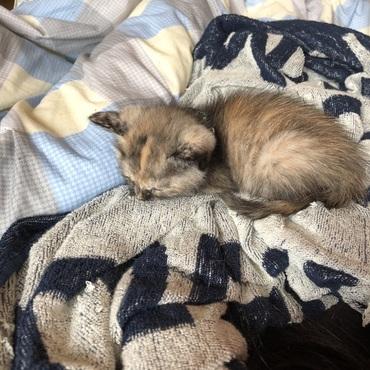 朝から走り回って、よくご飯食べてようやく寝ました(*ˊ˘ˋ*)  先住の猫のマメちゃんとだいぶ距離が縮まってきています。