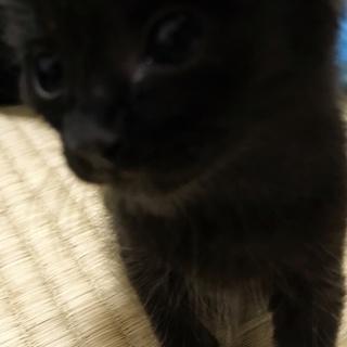 生後2週間弱の乳のみ子の黒猫ちゃん