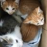 可愛い子猫ちゃんたち家族募集です。栃木県栃木市
