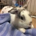 【再募集】おっとりミニウサギ ルノくん 1才