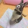 ミニウサギ♂ ジンくん 3才 なつこい男の子♪ サムネイル4