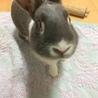 ミニウサギ♂ ジンくん 3才 なつこい男の子♪ サムネイル5