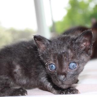 動画あり人懐こい黒猫あかまつくん