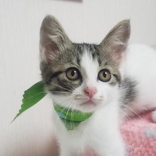 2ヶ月半【6/17東銀座猫の譲渡会】カレンちゃん