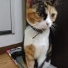 スコティッシュのクォーター1歳の三毛猫ちゃん