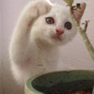 白くてきれいな2ヶ月の女の子。とっても甘えん坊!