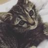 生後2ヶ月ほど、アメショの可愛い女の子です