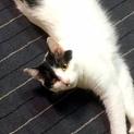 フワフワな白黒猫♡メス猫