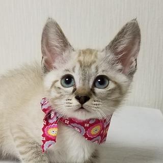 2ヶ月半【6/17東銀座猫の譲渡会】マーガレット