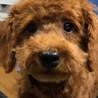 プードル子犬の男の子【譲渡条件よくお読み下さい】
